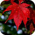 Autumn leaves Wallpapers (backgrounds & themes) APK