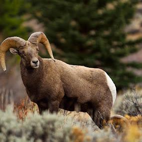 by Antonio Lobato - Animals Other Mammals ( wild, animals, nature, rocky mountains, colorado, nature up close, wildlife, sheep, bighorn,  )