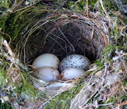 Photo: Cowbird egg in a Pacific-slope Flycatcher's nest. Cowbirds lay their eggs in the nests of other birds which become foster parents:  http://www.allaboutbirds.org/guide/brown-headed_cowbird/id