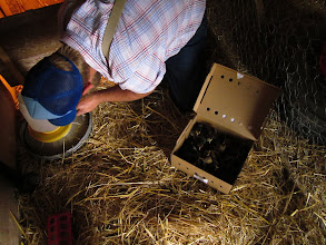 Photo: Getting the chicks set up in their new home.