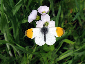 Photo: Orange Tip
