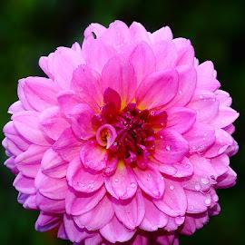 Pompon by Gérard CHATENET - Flowers Single Flower