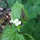Schorpioenvlieg (Panorpa germanica) (female)