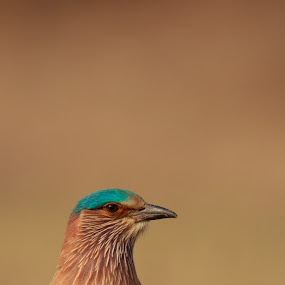 Indian roller by Saumitra Shukla - Animals Birds ( colorful, vivid, beautiful, indian, beauty, indian roller, bird, roller, amazing, color, blue, lovely, animal )