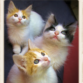 by Jim Knoch - Animals - Cats Kittens