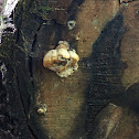 Brown-rot fungus