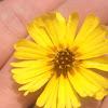 Common Madia