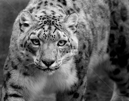 Snow Leopard B W By Shawn Thomas Black White Animals Cat