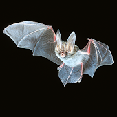 Bat App (Unreleased)