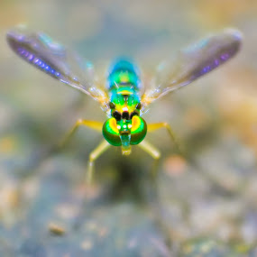 Long Legged Fly  by Himanshu Jethva - Animals Insects & Spiders ( macro, dang, fly, blurr, legged, india, insects, long legged fly )