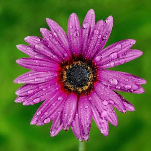Daisy flower 4 final small .jpg