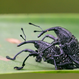 More weevil in this world by Annette Flottwell - Animals Insects & Spiders ( bu, coleoptera, insect, weevil, biche )