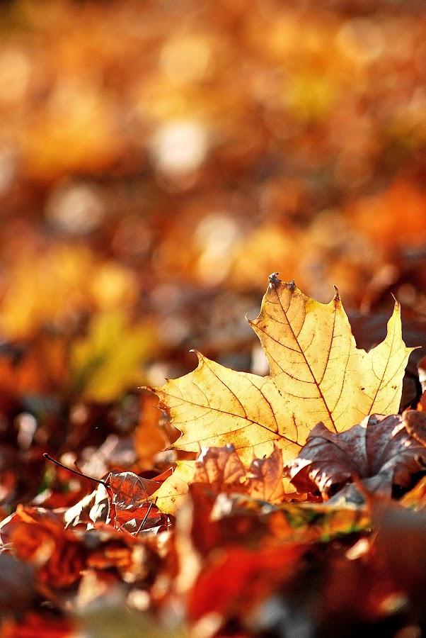 Sunlight Leaf by Lucian Cazacioc - Nature Up Close Flowers - 2011-2013