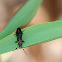 Red-necked False Blister Beetle