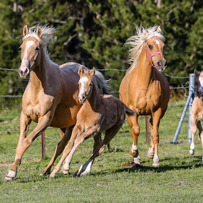 Palomino Mares and Foals by Glenys Lilley - Animals Horses ( gallop, mares, palomino, foals, canter, beauty, free spirit,  )