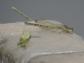 Photo: 3 Jul 13 Priorslee Lake: Despite the cloudy weather there seemed to be a hatch of damselflies: the specimen in the middle seems to be a male Common Blue Damselfly – you can just see the blue developing at the 'joins' in the body segments. The blurred foreground individual is still to fully emerge. (Ed Wilson)