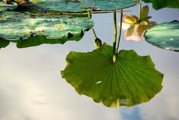 Lotus di Samvise65
