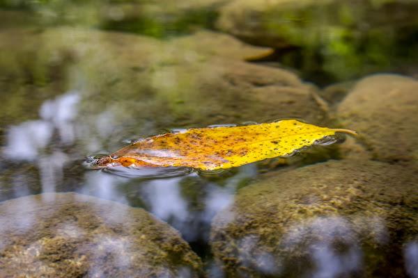 Foglia sul fiume di Gaetano1223