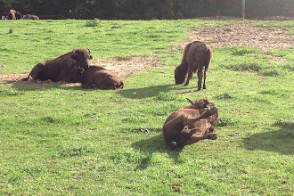 Photo: Did this buffalo get the joke I told, or is it just scratching its back?