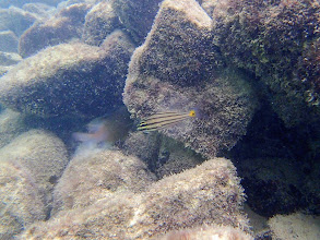 Photo: Cheilodipterus quinquelineatus (Five-lined Cardinalfish) holding eggs or fry, Miniloc Island Resort reef, Palawan, Philippines.