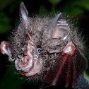 Francis' Wooly Horseshoe Bat