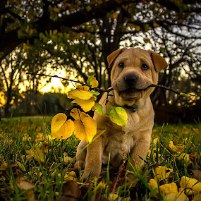 Mango on a stick by Hilton Viney - Animals - Dogs Puppies ( inlove, puppylove, dogs, autumn leaves, sharpei, yellow, cute, leaves, love, nature, tree, autumn, sunset, adorable, puppy, dog, animal )