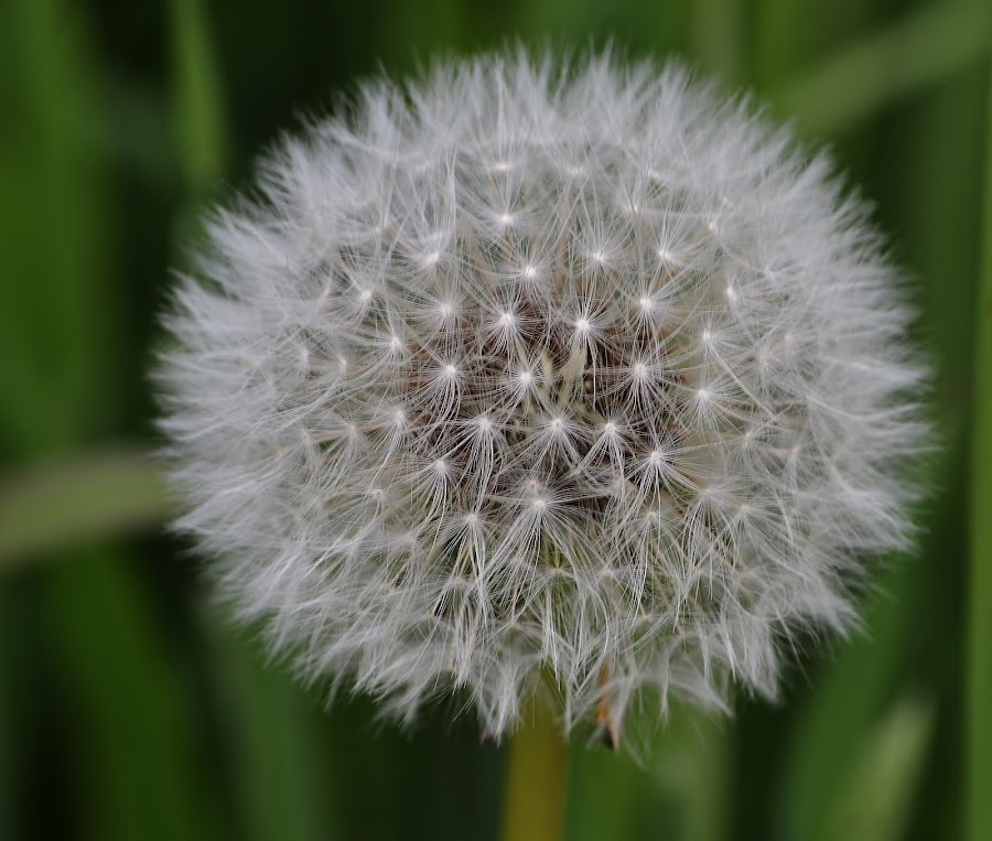Fairy Lights by Carla Maloco - Nature Up Close Other plants ( dandelion head, nature, flora, close up, flower )