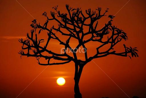 Frangipani Tree Drawing Sunset And Frangipani by Yande
