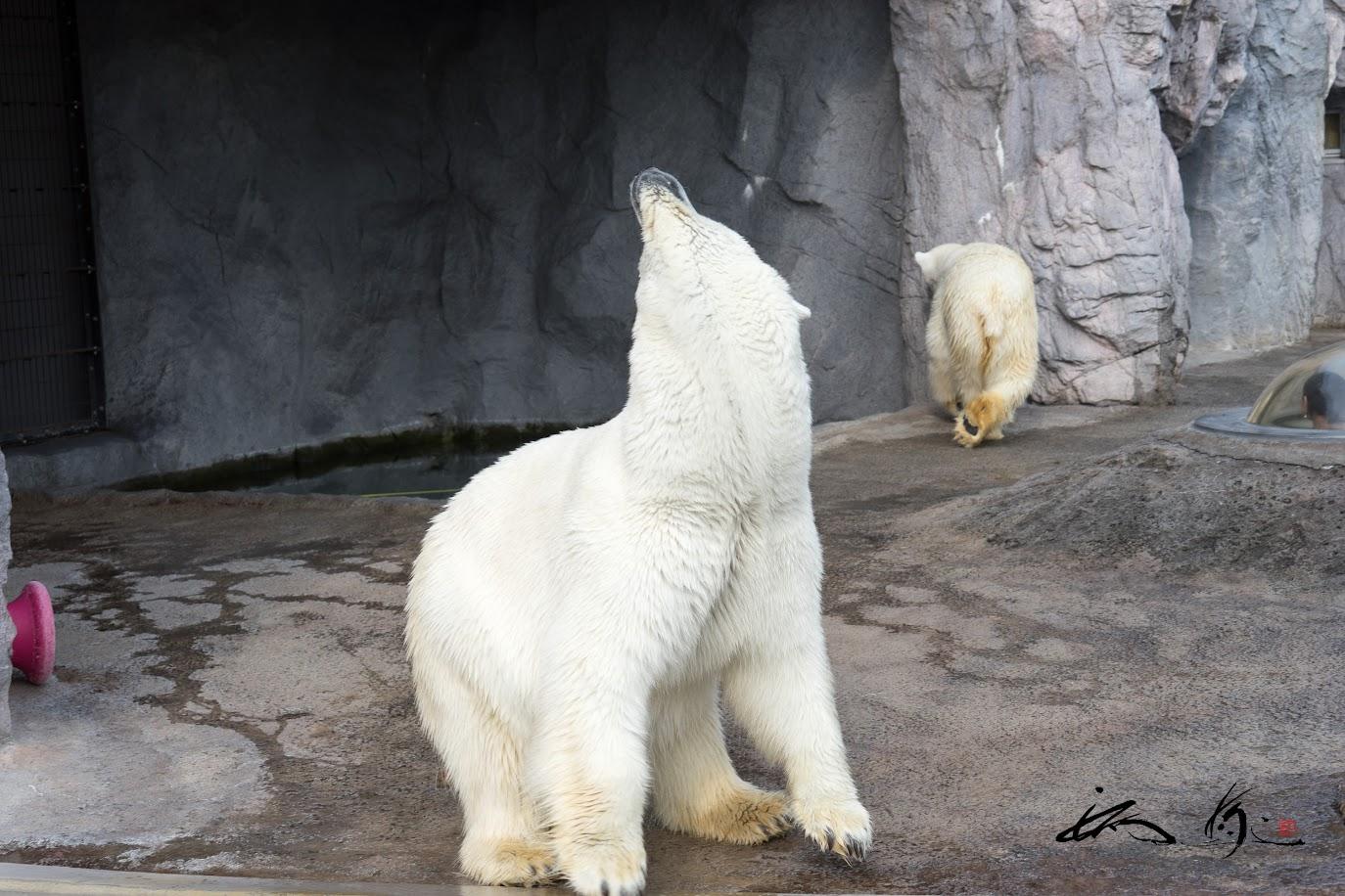 遠吠えするクマさん・・・