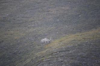 Photo: un renne ! et pas farouche...
