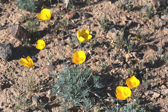 Photo: California poppies