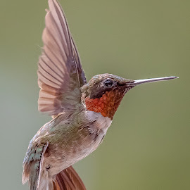 Chief Hummingbird by Mike Craig - Animals Birds ( pretty, top, hummingbird, best,  )