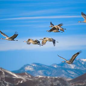 by Qing Zhu - Animals Birds ( bird, migration, mountain, fly, sandhill crane )