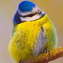Blue Tit Bird Live Wallpaper icon