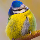 Blue Tit Bird Live Wallpaper