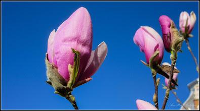 Photo: Magnolie (Magnolia) - din Piata Republicii, spatiu verde - 2017.04.09