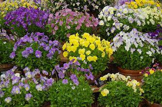 Photo: Flors de Viola (Viola flowers)