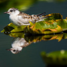 Tern of Dal by Sam's 1 Shot - Animals Birds ( reflection, tern, india, lake, kashmir, dal )