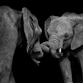 Elefun Playtime by Andy Smith - Animals Other Mammals ( low key, elephant, play, shadows,  )