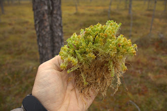 Photo: Another Sphagnum