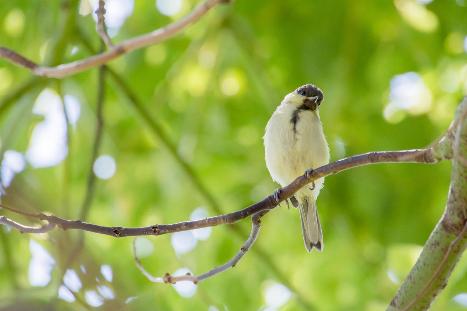 Photo: なんだろう? Whats that?  飛び出した世界 少しずつ芽生える好奇心 きょろきょろ観察 なんだろう 不思議がいっぱい  Juvenile of Japanese Tit. (シジュウカラの幼鳥)  #birdphotography #birds #cooljapan #kawaii #nikon #sigma Nikon D7200 SIGMA APO 50-500mm F5-6.3 DG OS HSM (2枚追加:Added 2 photo)  ・小鳥の詩朗読 /poetry reading https://youtu.be/usQAfqethBQ?list=PL2YtHGm0-R3qVsaqvQe9OYdJFCkI98wzF