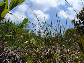 Photo: end of the swamp trail behind the University College of the Cayman Islands.