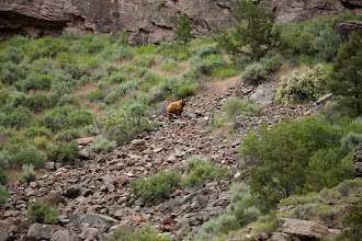 Photo: Cinnamon colored black bear seen while on a whitewater raft trip  through the Gates of Lodore section of the Green River which flows through Dinosaur National Monument in northeastern Utah.