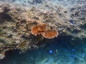 Photo: A palmata on Reef C (April 1). Estimated Maximum Linear Dimension: 88 cm