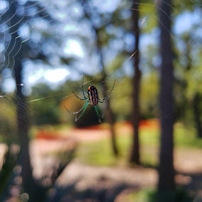 Venusta Orchard Spider - Leucauge venusta 2 by Colin Toone - Instagram & Mobile Android ( orange, green, blue, web, yellow, turquoise )