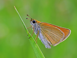 Photo: Thymelicus sylvestris, Hespérie de la houque ou Bande noire, Small Skipper  http://lepidoptera-butterflies.blogspot.com/
