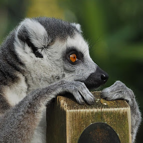 Hold on by Joanne Calderbank  - Animals Other Mammals ( ringtail, lrmur, paws, close up, eye,  )