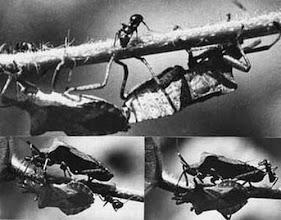 """Photo: Des punaises """"syromastes marginés"""" sont taquinées par une fourmi lors de leur accouplement. La fourmi se délecte d'un liquide secrété par les fourmis 1972 -"""