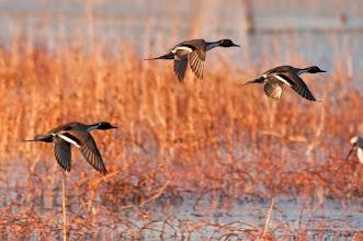 Photo: Pintail ducks flying across lagoon