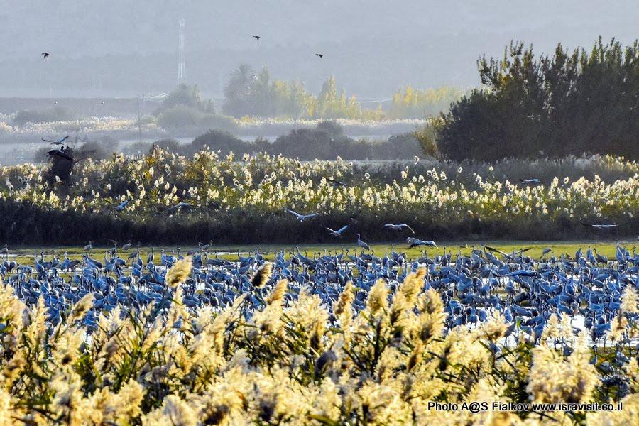 Журавли на зимовке на озере Агмон Хула. Экскурсия в Израиле в национальный заповедник птиц на озеро Агмон Хула.